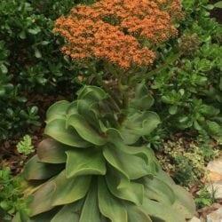Horticulture Spotlight: Aeonium nobile